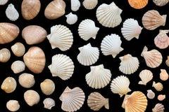 seashells предпосылки черные Стоковые Изображения RF