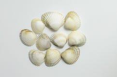 seashells предпосылки белые Стоковые Фотографии RF