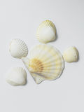 seashells предпосылки белые Стоковое Фото