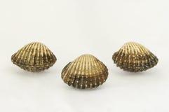 3 seashells сброса Стоковые Изображения