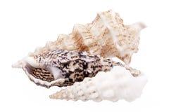 Seashells сверла обстреливают вызванных улиток Сверла изолированных на белой предпосылке Стоковая Фотография RF