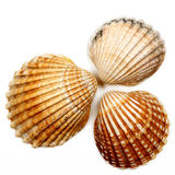 Seashells 04. Group of seashells, photographed about white paper Royalty Free Stock Images