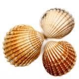 Seashells 04 Imágenes de archivo libres de regalías