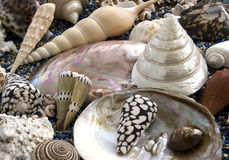 Seashells Lizenzfreie Stockfotos