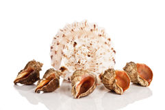 Seashells. Big and a few small seashells on white Royalty Free Stock Photos