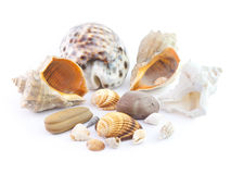 The  seashells Stock Images