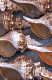 Seashells Royalty Free Stock Image