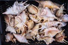 Seashells. Royalty Free Stock Photography