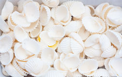 Seashells. A collection of nice seashells for backgrounds Royalty Free Stock Photos