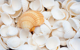 Seashells. A collection of nice seashells for backgrounds Stock Photo