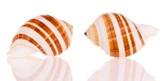 Seashells photo libre de droits