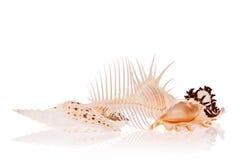 Seashells photos libres de droits