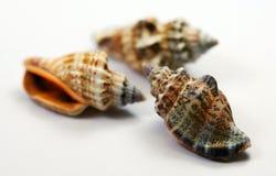 seashells 3 Стоковые Изображения