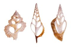 Seashells fotografia de stock royalty free