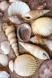 Seashells Imagens de Stock Royalty Free