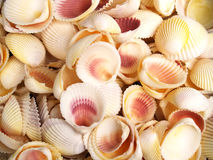 Seashells Immagine Stock Libera da Diritti