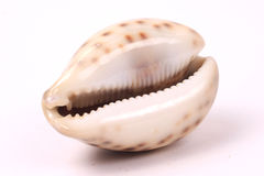 Seashells 4 Foto de Stock Royalty Free