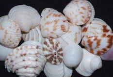 seashells Foto de Stock