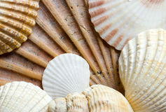 Seashells Fotografia Stock