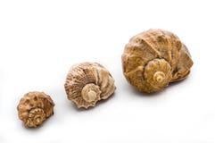 seashells Fotografia de Stock Royalty Free