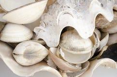 seashells Στοκ Εικόνες