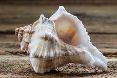seashells Lizenzfreies Stockfoto