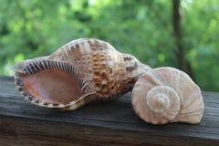 seashells Στοκ εικόνα με δικαίωμα ελεύθερης χρήσης