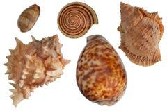 Seashells ajustados Fotografia de Stock