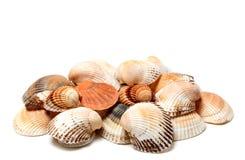 Seashells anadara и scallop Стоковые Изображения