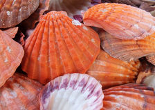 Seashells as background. Bunch of seashells on still life. Image can be used as background stock image