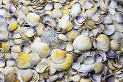 Seashells as background Royalty Free Stock Image