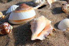 Seashells auf Sand Stockbild