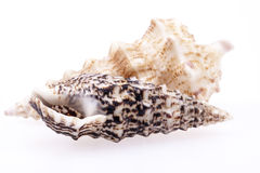 Seashells of  Auger shells called Auger snails isolated on white Royalty Free Stock Photography