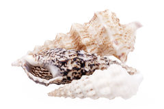 Seashells of  Auger shells called Auger snails isolated on white background Royalty Free Stock Photography