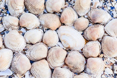 Seashells on a background of broken shells. On the beach Royalty Free Stock Images