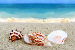Seashells on beach. Three colorful seashells on a sandy beach with blue ocean stock images