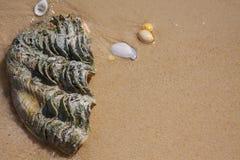 Gigant seashells on the beach. stock photography