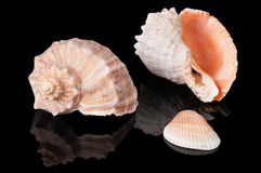 Seashells on black Stock Photos
