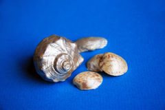 Seashells on a blue background Stock Images