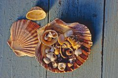 Seashells on blue wood. Collection of large and small seashells on a blue wooden background Stock Image