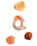 Seashells and broken rapana Royalty Free Stock Photography
