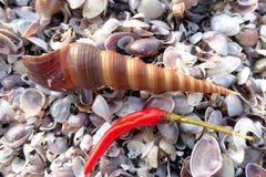 Seashells and chili pepper Royalty Free Stock Photography