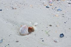 Big seashell and small clams on coastal sands, sandy seascape. Seashells and clams on coastal sands, sandy beach seascape Royalty Free Stock Image