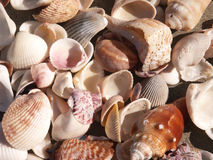 Seashells Close-Up. Close up of shells in assorted sizes and styles, perfect background for scrapbooking or other Royalty Free Stock Photos