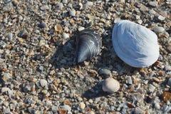 Seashells close-up. Image of the seashells close-up Royalty Free Stock Image