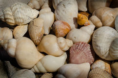 Seashells. Cockle and whelk shells on a rock Royalty Free Stock Photography