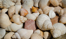 Seashells. Cockle and whelk shells on a rock Royalty Free Stock Photo
