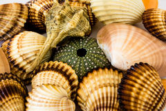 Seashells Collection. Closeup collection of different seashells Stock Photography