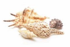 Seashells collection Royalty Free Stock Photos