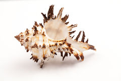 Seashells - colors and texture. With white background royalty free stock images